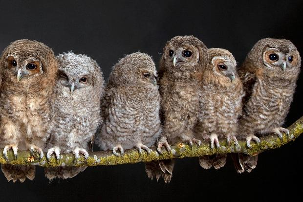 Group Owls 56